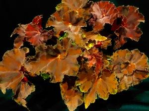 B Sunset Blaze (foliage)