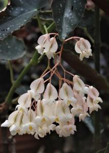 B 'White Chandelier' (flowers)