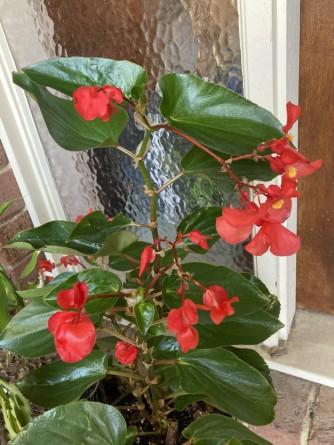 B. 'Dragon Wings Red' (flowers)