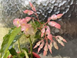 B. 'Perna' (flowers)