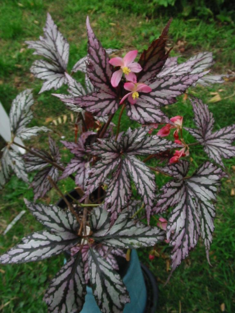 B Beni Toshiba (jointed rh) Foliage