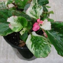 B Calla Lily (semp) - Foliage