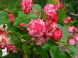 B Coconut Ice (semp) - Flowers