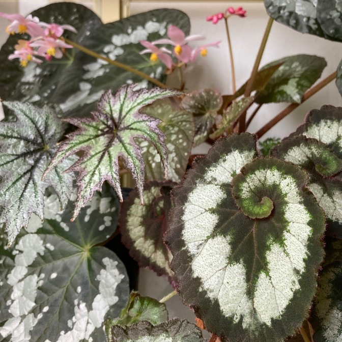 B 'Escargot', 'Connee Boswell and unidentified Rex hybrid. - Foliage
