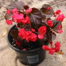 B Red Rosette (semp) - Flowers