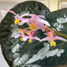 B Rex Unknown hybrid - Flowers