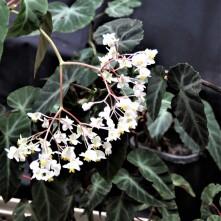 B. angularis - Flowers