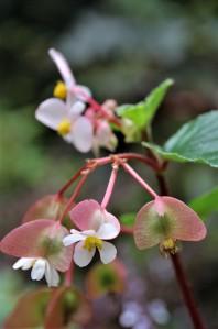 B. fischeri - Flowers