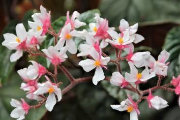 B. scharfii (Flower)