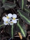 B listada (Flower)