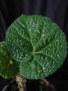 B Ghertii (rh) (Foliage)