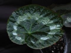 B Putzeys (rex) (Foliage)