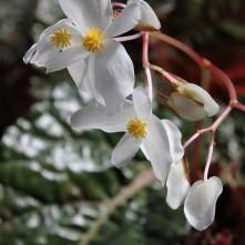 B 'Dale Kramer - flowers [Grower: K Jenvey]