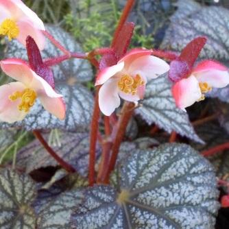 B 'Grey Ghost - flowers [Grower: P Brady]