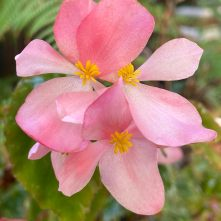 B richmondensis - flowers [Grower: L Johnston]