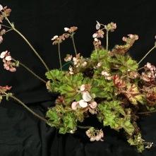 B. bowerae var. nigramarga - Flowers [Grower: J Randle]