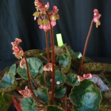 B. cristobelensis (rh) - flowers [P Moyle]