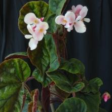 B. scharffiana (sl) - flowers [Grower: P Moyle]