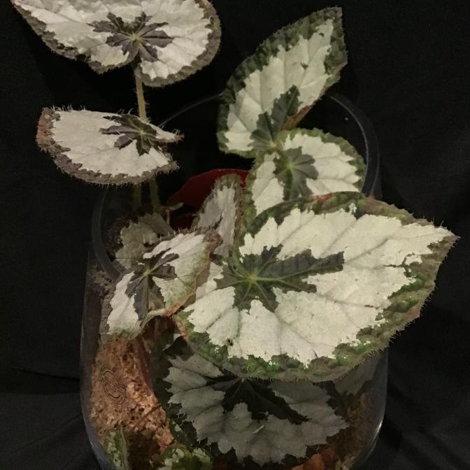 B. Silver Skies - Foliage [Grower: J Randle]