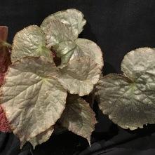 B. Sir Percy - Foliage [Grower: J Randle]