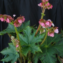 B One Day Cricket (rh) - flowers [Grower: B Moyle]