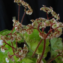 B Sugaree (rh) - flowers [Grower: B Moyle]